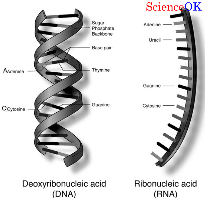 DNA-and-RNA-Structure