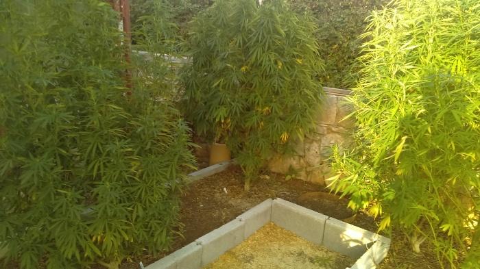 cannabisaugust2